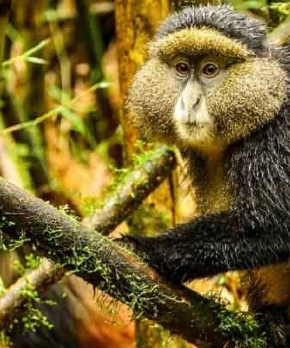 Golden-moneky-tracking-rwanda